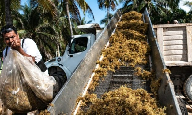 What do we do with the sargassum seaweed in Xcaret?