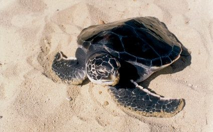 Protecting Sea Turtles: Salva tu Nido