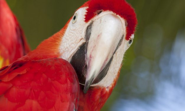 First Flock of Scarlet Macaw reaches Palenque