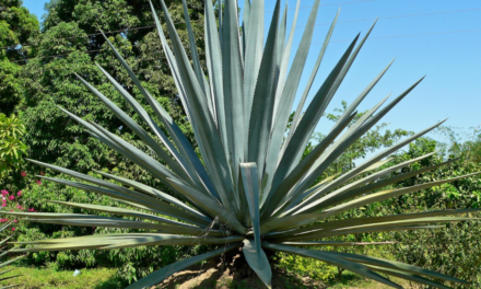 5 species of agave mezcalero that maybe you didn't know about