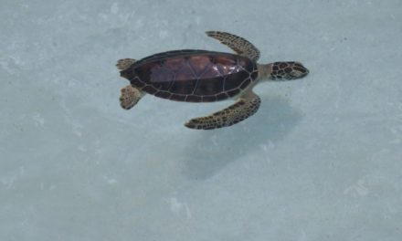Helping save the sea turtles #Tortugaton