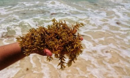 Tips to know which beaches in the Riviera Maya currently have sargassum