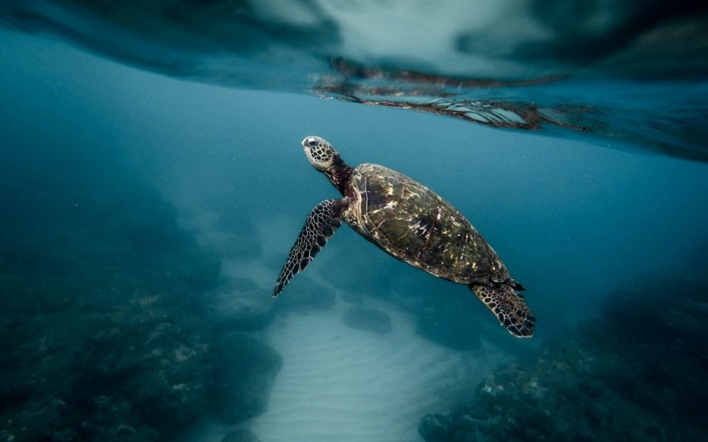Sea Turtles, Everything You Need To Know About Their Life Cycle