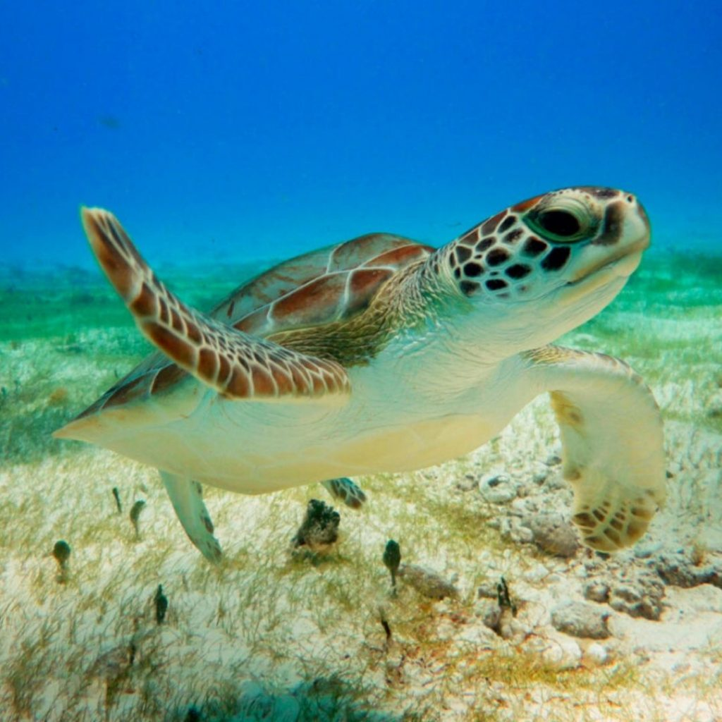akumal-a-different-detination-in-riviera-maya-turtle
