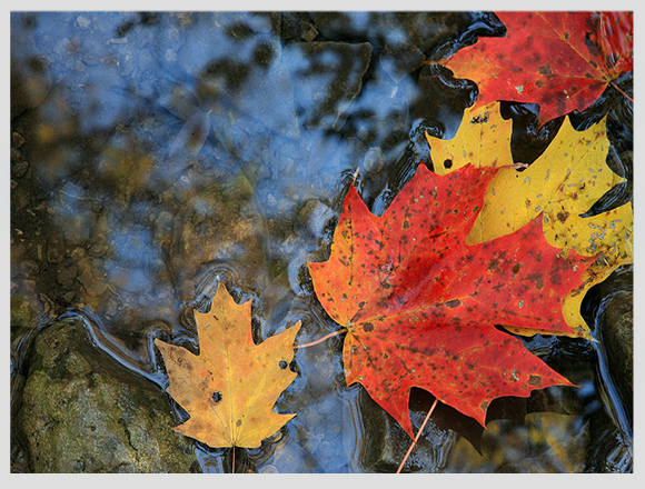 canada-maple-leaves