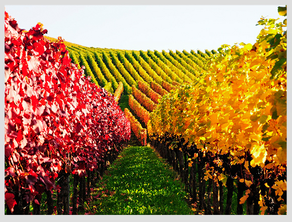 vineyard-autumn