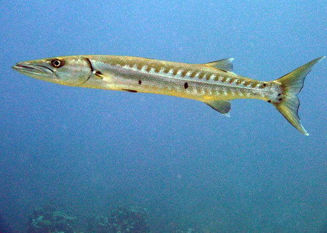 Barracuda-coral-reefs