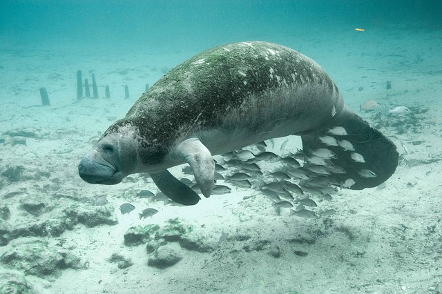 manatee-coral-reefs
