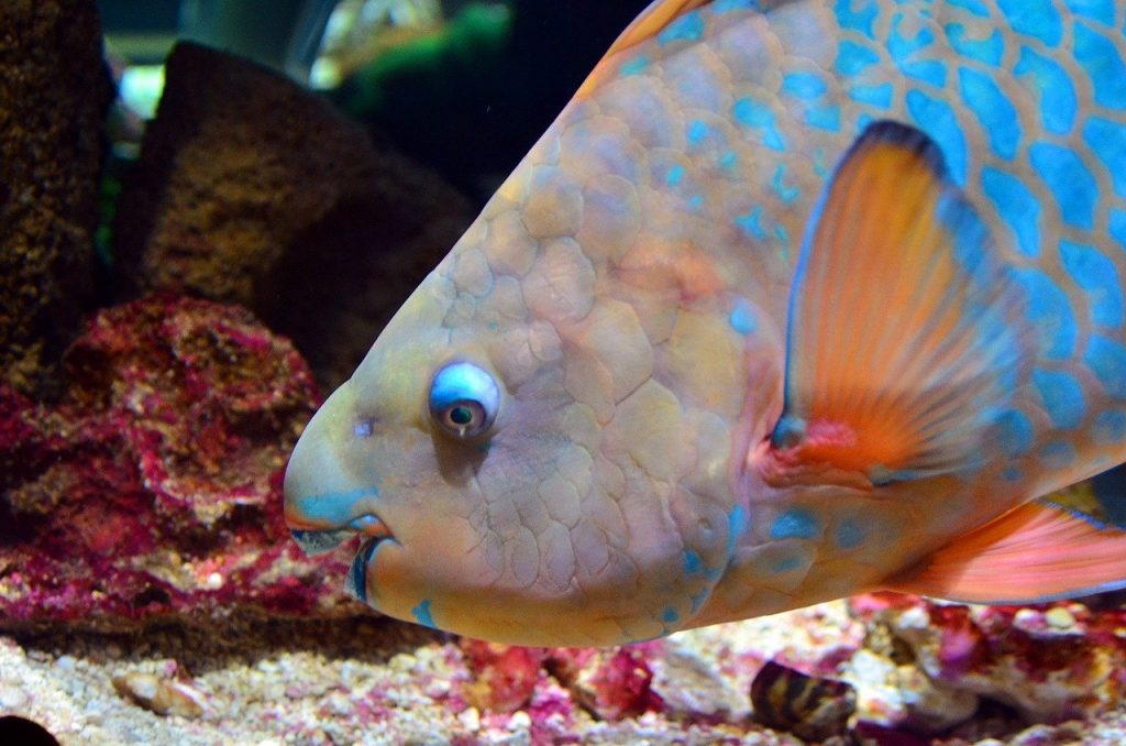 parrot-fish-in-coral-reef