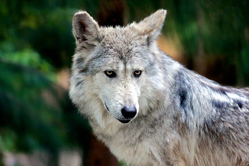 Mexican Wolf endangered